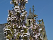 Flowering cherry trees a mass of colour