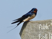 Swallow at Minsmere