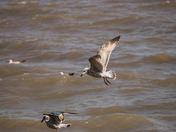 Seagulls at Walcott
