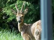 Deer in my garden