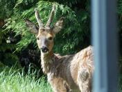 Deer in our garden.