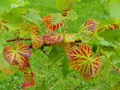 STRIPESS, In The Leaf