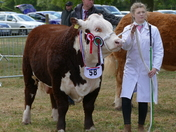 Bull in show ring.(photo challenge)