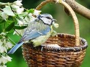 Blue tit on Basket.(photo challenge)