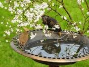 Blossom,Bird and Bird Bath.(photo challenge)