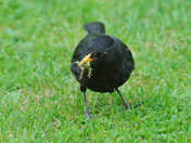 Black Bird collecting food for its young