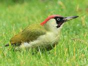 Green Woodpecker at Worlebury