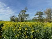 Oil seed rape fields in flower.