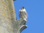Norwich Cathedral peregrine