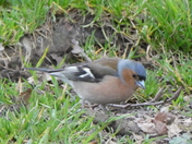 Chaffinch enjoying the pickings