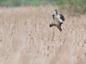 Marsh Harrier Hunting