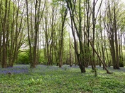 Bluebells at Heartwood Forest