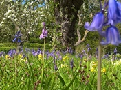 Bluebells,Cowslips and blossom