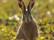 A beautiful hare backlit by the sun at Fen Farm.