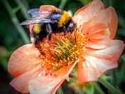 bee on a geum