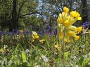 Cowslips and Bluebells in Playford