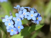 Flora - Forget me not
