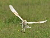 Photo Challenge, Barn Owl.