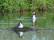 Great crested grebe nesting at Lackford lake..