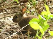 Baby rabbit hides under double decker hide at Lackford.