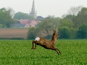 Deer leaping through the crops in Woolpit
