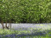 Bluebells at pensthorpe
