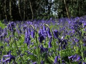 Bluebell woods at Freston