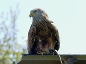 Red Kite sits on a hot tin roof.