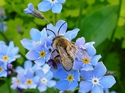 Bee on Forget me nots.