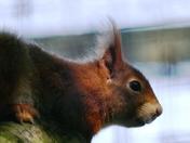Red squirrel at Stonham barns.