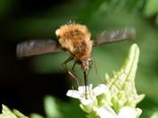Bee fly's