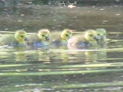 buck with new antler growth, week old goslings on lake at the manor