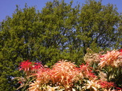 Vibrant Pieris Shrub