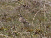 Sky Larks on Winterton Dunes