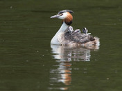 Great Crested Grebe with her chicks.