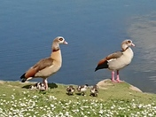 Bossy Egyptian Geese and family