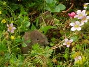 A cute little vole