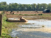 Pigs enjoying a wallow