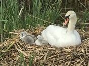 Swans chicks have hatched at mendip spring golf course