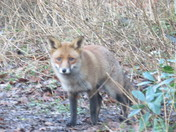 beautiful dog fox in woodland