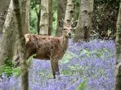 Deer in Bluebells