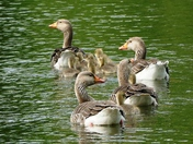 Geese and Goslings on Culford lake.