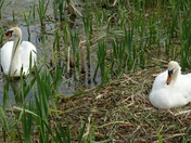 Male(cob)swan guards the Pen(female) whilst she sits on the nest.