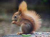 Beautiful red squirrel at Pensthorpe