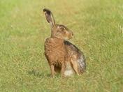 Very wet hare.