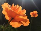 Delicate orange poppy