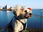 Pugpoodle enjoying the sun