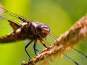 Happy Male Broad Bodied Chaser