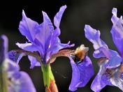 Bee on an Iris