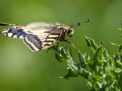 Strumpshaw Swallowtail